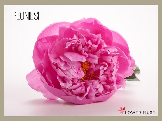 Flowermuse-Peony